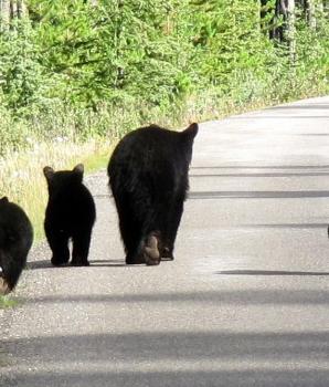 Remmen voor dieren: beren op de weg!